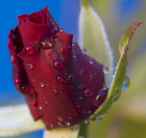 March 3 rosebud by DeirdreH