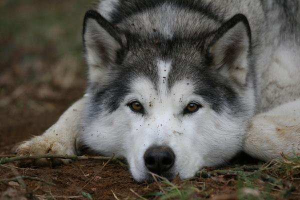 Husky by KJackson