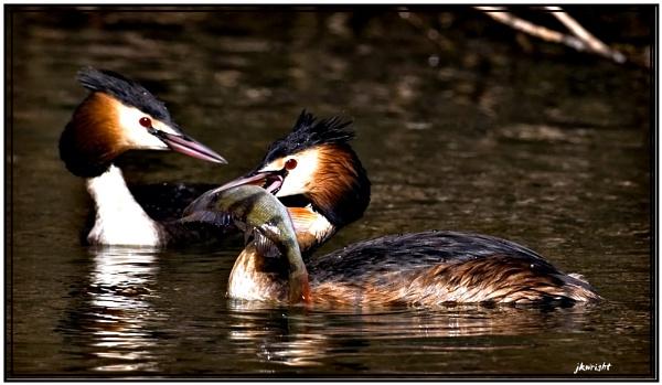 grebe eating perch by fishy2