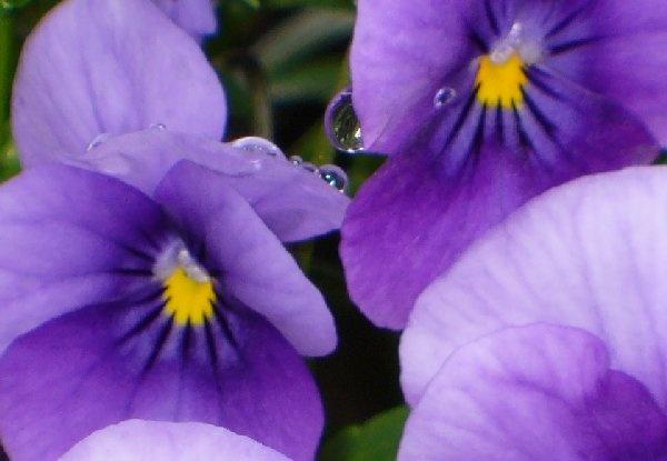 dewey violas by kraziteach