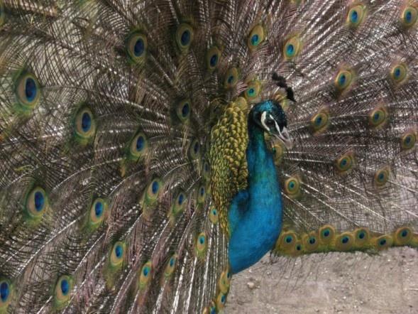 Peacock by Wil_Voitus_van_Hamme