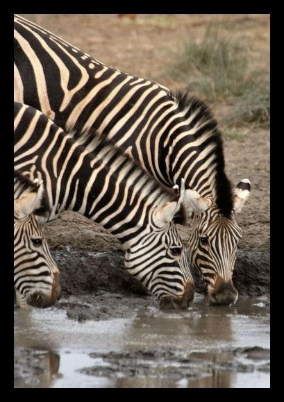 Zebra by challicew
