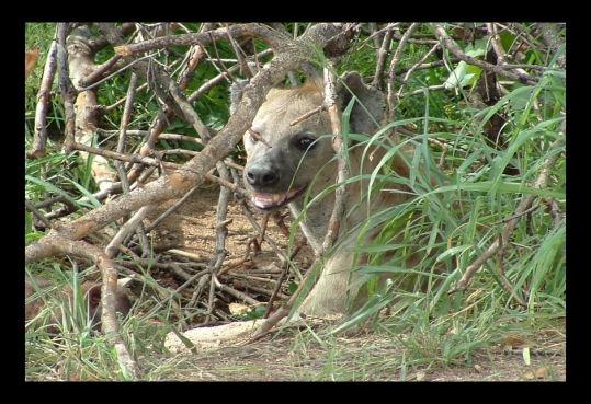 Hyena by challicew