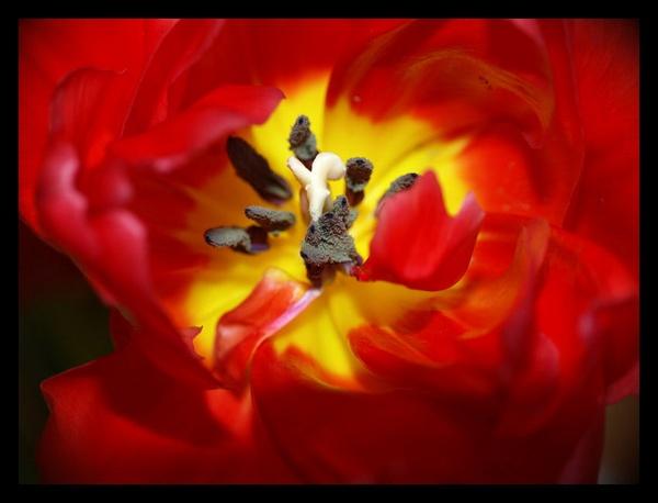 Red Flower by tajjay