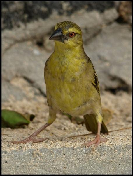 Yellow bird by welshjohn