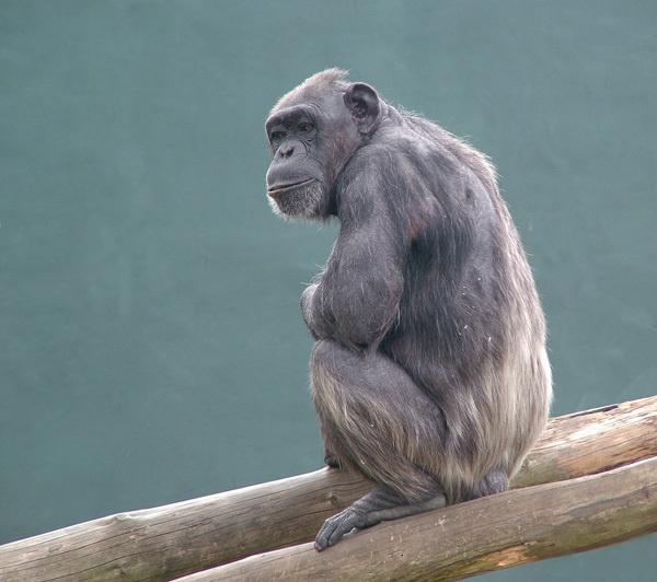 chimpanzee by ducatifogarty