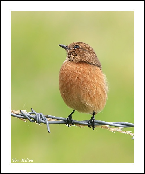 Stone Chat by Tom-Melton