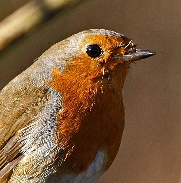 Robin Portrait by Jaff