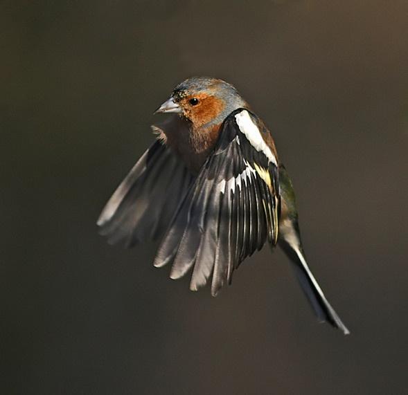 Chaffinch in Flight by Jaff
