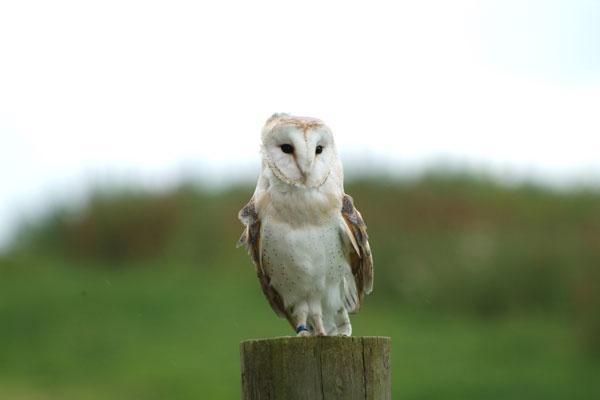 Barn Owl (Tyto Alba) by brownbear1991