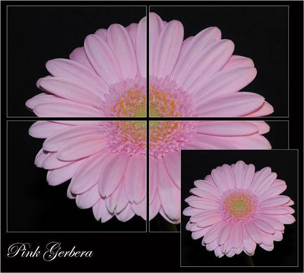 Pink Gerbera by StevesPics