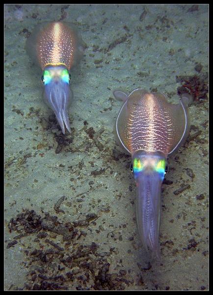 Bioluminescence by pennyspike