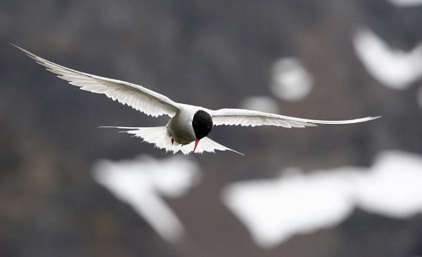 South American Tern by matt adams