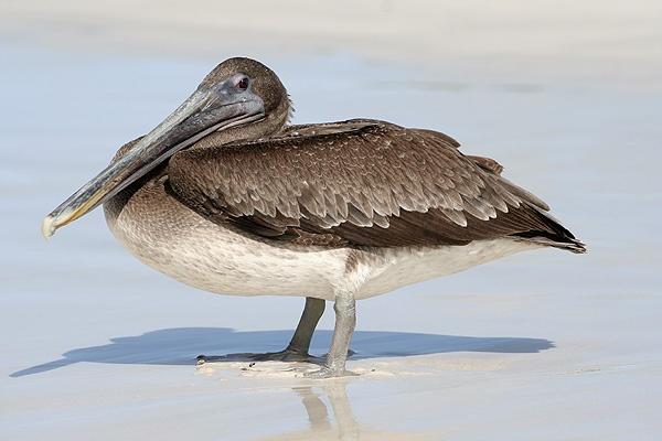 Galapagos Pelican by ihana