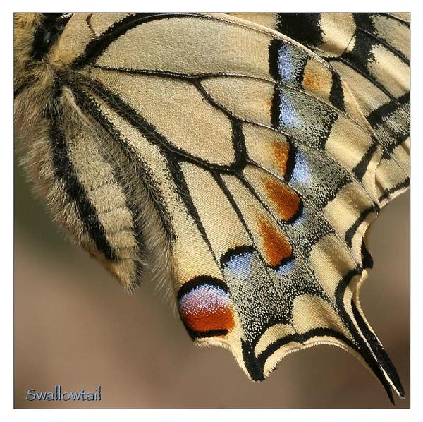 Swallowtail Detail by celestun
