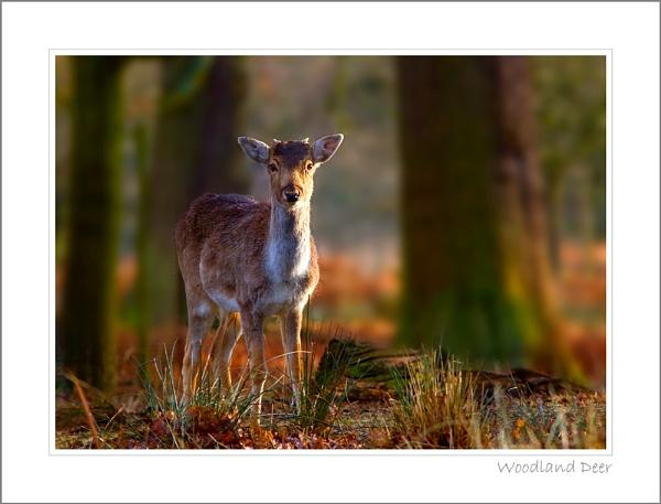 Woodland Deer by stevie
