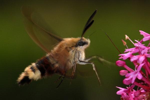 narrow bordered bee hawkmoth by dannybeath