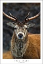 Stag stare by javam