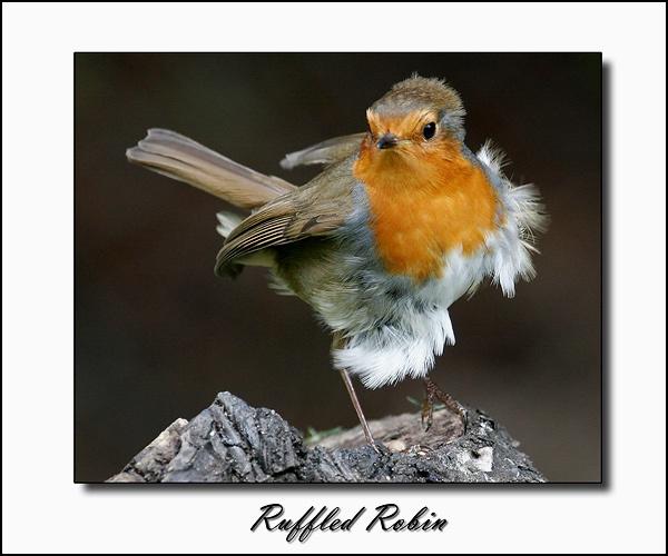 Ruffled Robin by StevenPrice