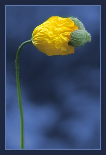 emerging poppy by PeeCee