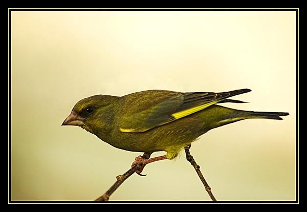 Greenfinch by jimbocarroll
