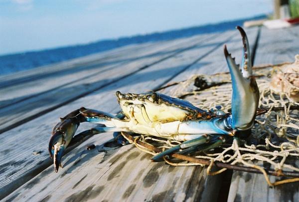 Blue Crab by Josh_R