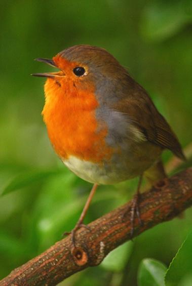 Singing Robin by Pornrutai