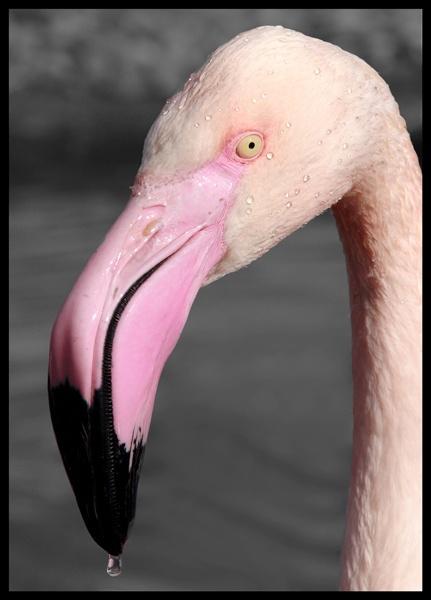 Flamingo by Jennie277