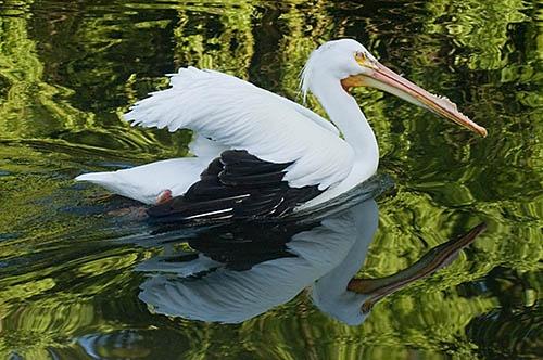 Pelican by RSaraiva