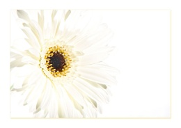 Highkey White Gerbera