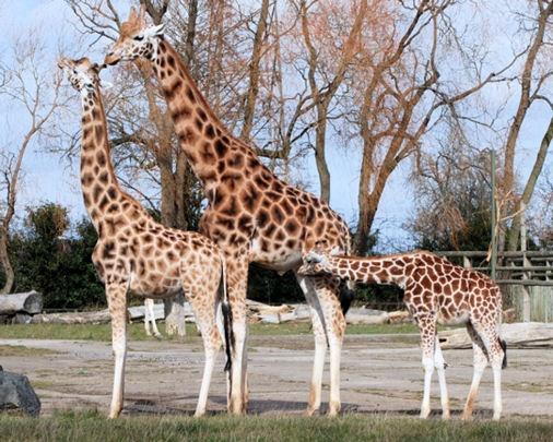 Giraffes by Stuart463