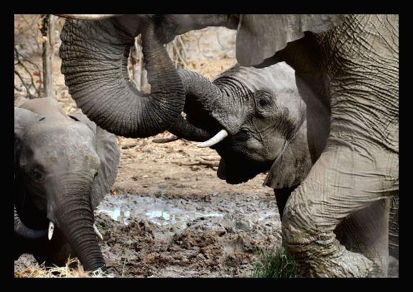 Elephants by challicew