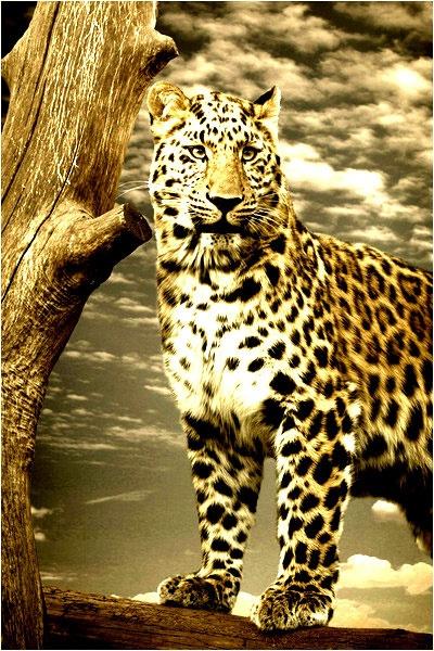 Amur Leopard by stevenb