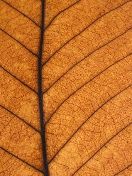 veins of a leaf by wavey