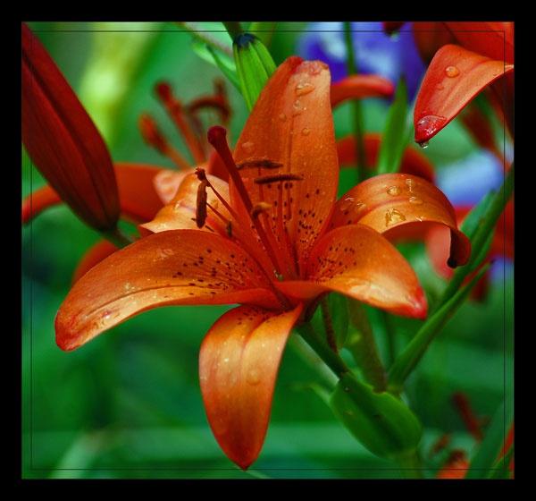 lilly by ducatifogarty