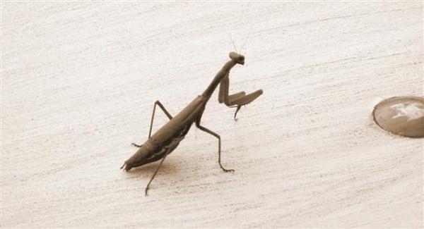 Praying Mantis by Vicalli