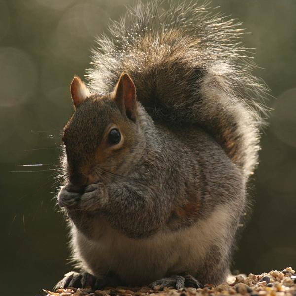 Grey Squirrel by digitalcaptive
