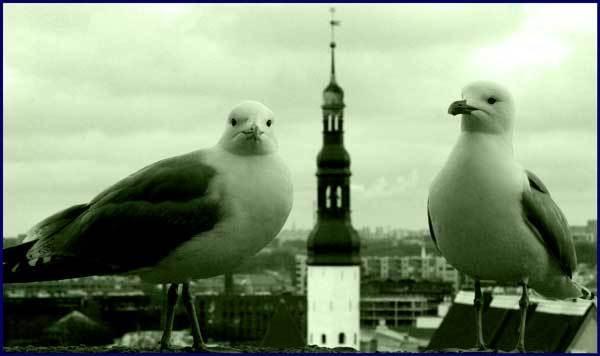 Two Estonian birds by irish