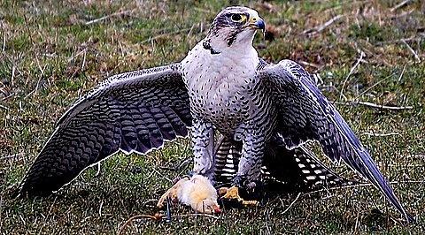"\""Saker Falcon\"" by BigKiz"