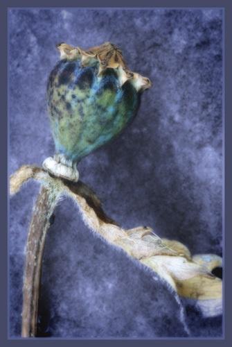 poppyhead detail by PeeCee