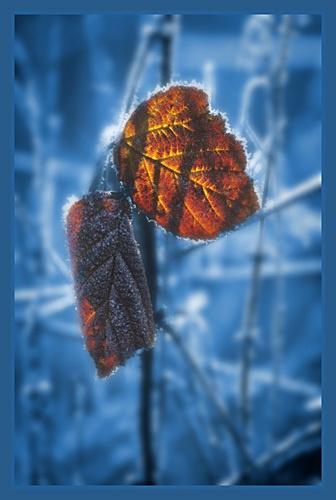 bramble leaf in winter by PeeCee
