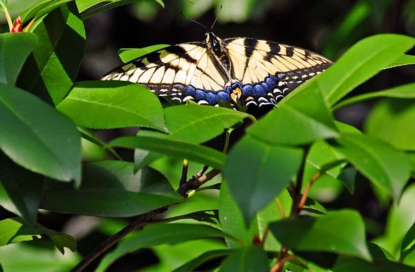swallowtail by jdh2