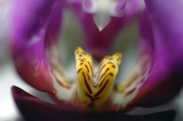 Misty Orchid by LizzieN