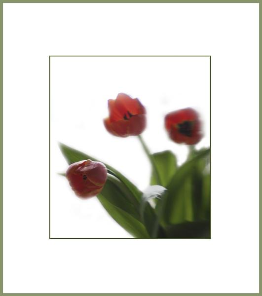 tulips - lensbaby by beriah