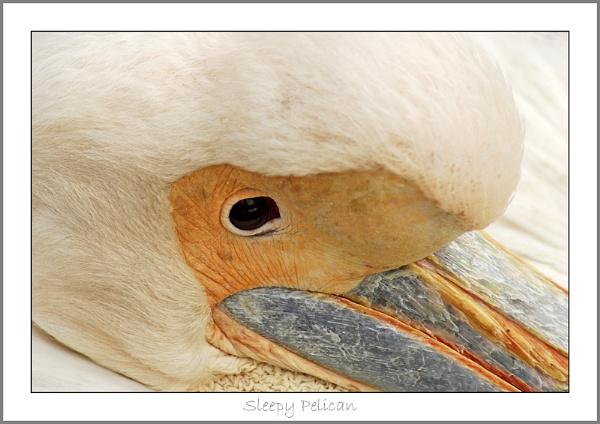 Sleepy Pelican by AEasthope67