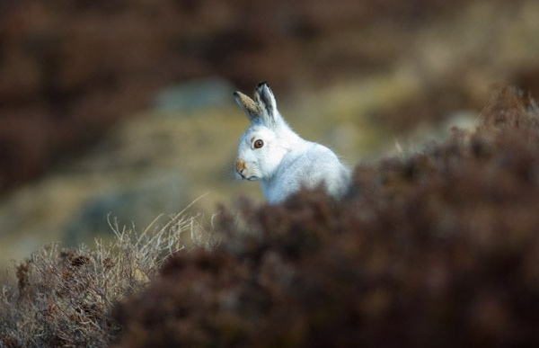 Blue Hare by hilly1