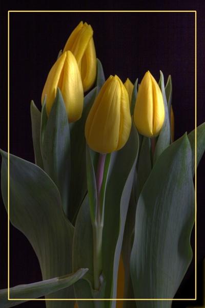 Tulips by skoffs