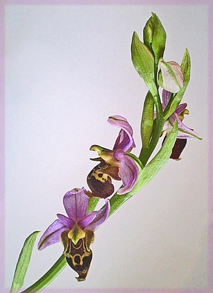 ophrys heldreichii by CarolG