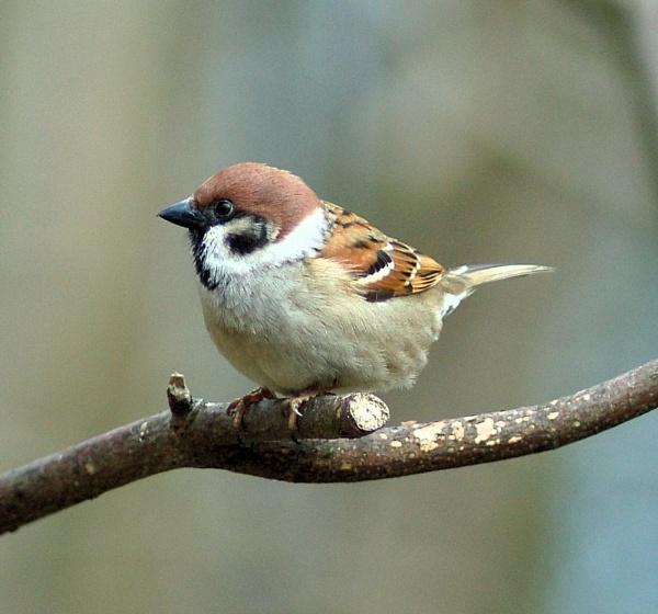Tree sparrow by Libby_M