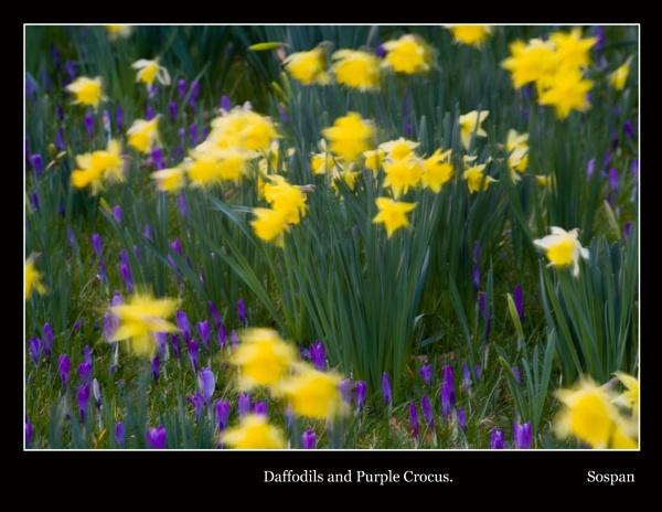 Daffodils and Purple Crocus by sospan